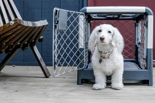 White dog sitting in front of dog crate on a patio