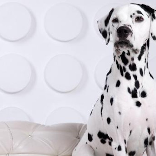 Large Dalmatian dog sitting on couch