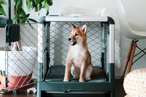 Shiba Inu dog sitting in a dog crate, with a plant nearby