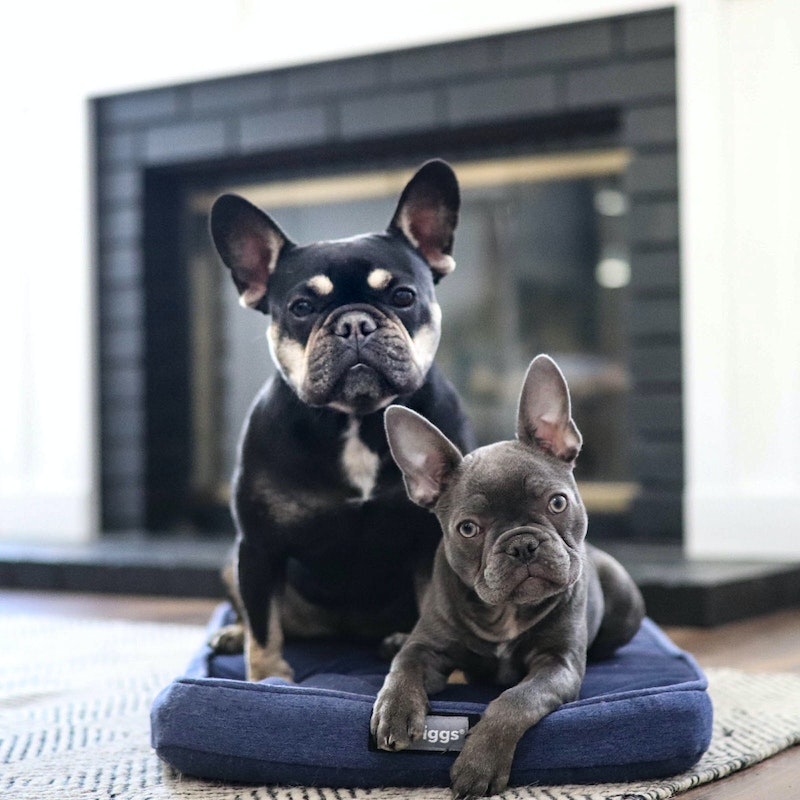 Two French Bulldogs sitting on a Snooz dog bed